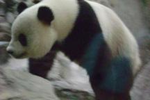 sm-panda01