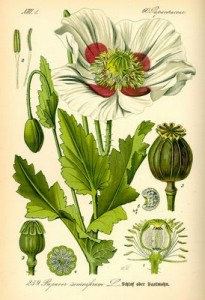 411px-Illustration_Papaver_somniferum0