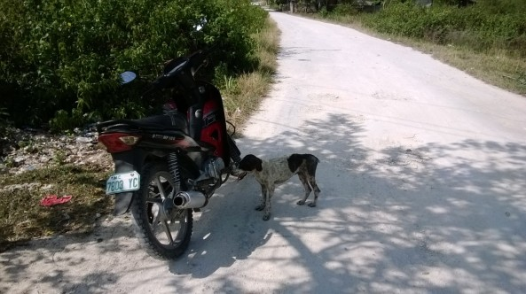 Feral dog and motorbike, Moalboal, Philippines
