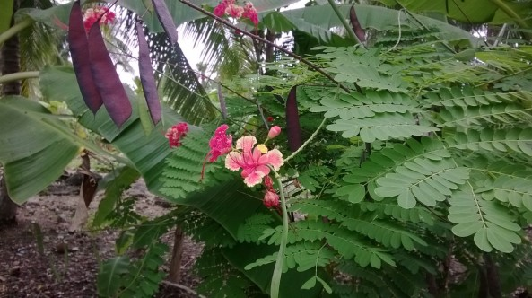 Tropical flowers, near White Beach, Moalboal, Philippines