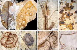 Pest damage to fossil leaf from the Paleocene-Eocene Thermal Maximum