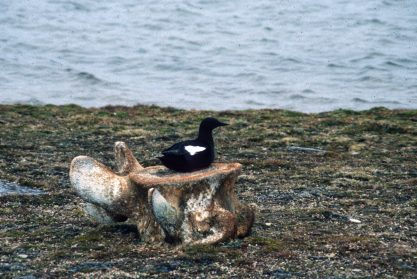Alaska, Cooper Island, Barrow, The Arctic Circle, Svalbard, wild, Black Guillemots,
