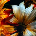 baroque-daisies